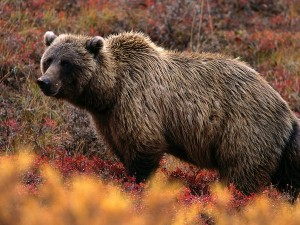 grizzly-bear_566_600x450
