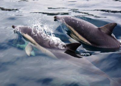 Tasman Island Dolphins