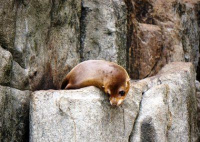 Tasman Island Seal