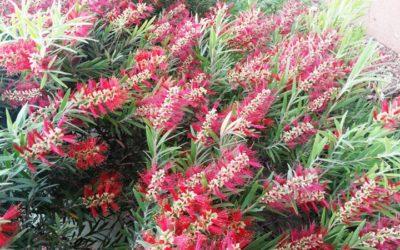 FRESH FLOWERS IN ULURU ?