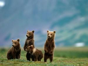 10 HIBERNATION FACTS – BROWN BEARS